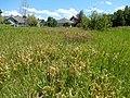 Solidago canadensis - Canada goldenrod - sprayed with herbicide - Flickr - Matt Lavin (1).jpg