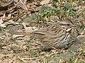 Song Sparrow 001.jpg