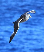 Southern Giant Petrel in the Drake Passage (6296238227).jpg