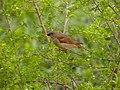 Southern Grey-headed Sparrow (Passer diffusus) (11627425604).jpg