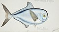 Southern Pacific fishes illustrations by F.E. Clarke 63.jpg
