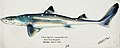 Southern Pacific fishes illustrations by F.E. Clarke 71.jpg