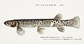 Southern Pacific fishes illustrations by F.E. Clarke 98.jpg