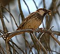Spanish Sparrow (514899702).jpg
