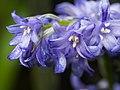 Spanish bluebells (14029630347).jpg