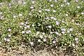 Spergularia rubra kz08.jpg