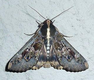 <i>Sphingomorpha chlorea</i> Species of moth