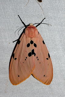 <i>Spilosoma</i> genus of insects