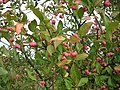 Spindleberry in the hedge - geograph.org.uk - 557663.jpg