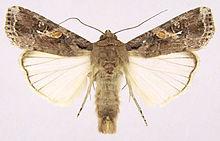 Spodoptera frugiperda.jpg
