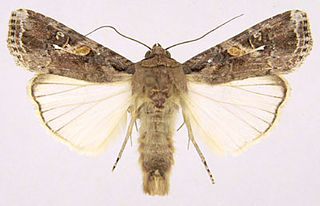 Fall armyworm species of moth