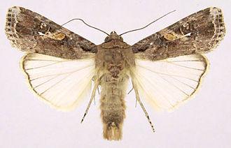 Fall armyworm - Image: Spodoptera frugiperda