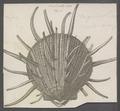 Spondylus regius - - Print - Iconographia Zoologica - Special Collections University of Amsterdam - UBAINV0274 074 10 0015A.tif
