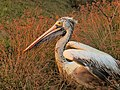 Spot billed pelican.jpg