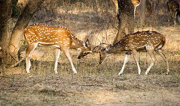Spotted Deer Fighting.jpg