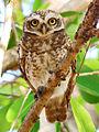 Spotted Owlet (Athene brama) Photograph By Shantanu Kuveskar.jpg
