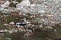 Spotted Sandpiper (9317172076).jpg