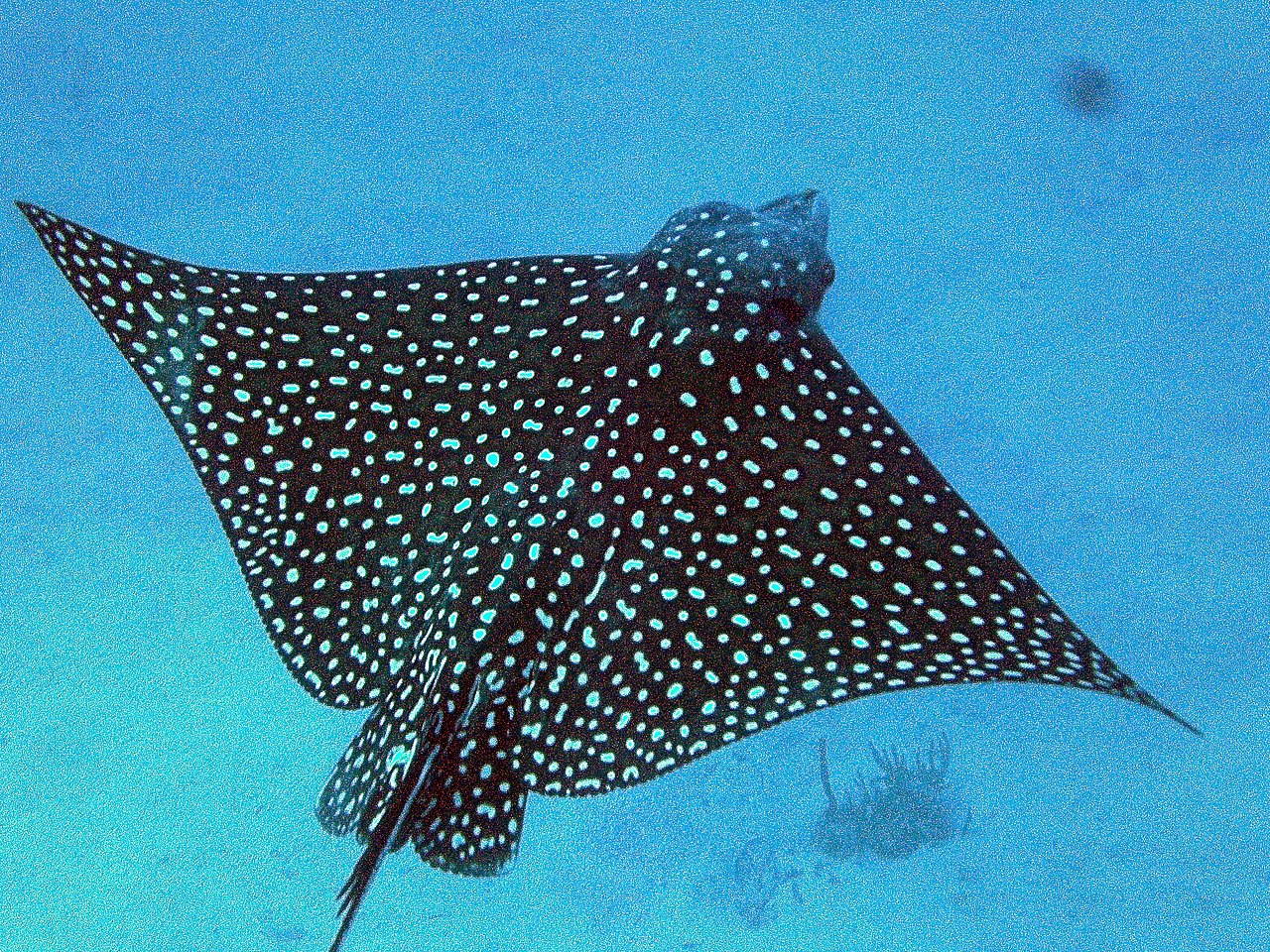 filespotted eagle ray 5jpg wikimedia commons