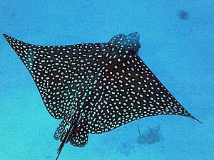 Spotted eagle ray 5.JPG