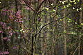 Spring-bird-flowering-tree-woods - West Virginia - ForestWander.jpg
