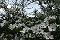 Spring-sky-dogwood-tree-flowers - West Virginia - ForestWander.jpg