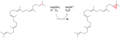 Squalene epoxide biosynthesis.png