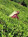 Sri Lanka-Province du Centre-Cueilleuse de thé (1).jpg