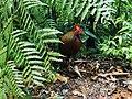Sri Lankan Junglefowl - Sinharaja Forest Reserve.jpg