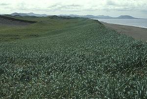 Saint Paul Island (Alaska) - St. Paul Island, sand dune habitat Pribilof Islands