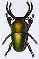 Stag Beetle (Lamprima adolphinae) (8429451655).jpg