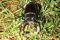 Stag beetle (BG) (9757634393).jpg