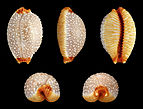 Staphylaea staphylaea staphylaea 01.jpg