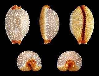 <i>Staphylaea</i> genus of molluscs