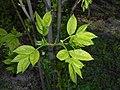 Staphylea pinnata 2016-04-22 8701.jpg