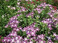 Star Phlox from Lalbagh flower show Aug 2013 8178.JPG