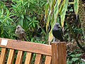 Starlings on bench at Old Town Bay, St Mary's, Scilly - geograph.org.uk - 1617206.jpg
