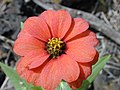 Starr-030202-0031-Zinnia peruviana-flower-Wailea 670-Maui (24252070589).jpg