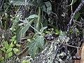 Starr-040723-0317-Solanum americanum-fruit-Puu Kole-Hawaii (24347269809).jpg