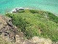 Starr-050419-0449-Digitaria insularis-habit-Mokolii-Oahu (24117941064).jpg