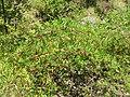 Starr-050817-3885-Rubus niveus-form b habit-Keahuaiwi Gulch-Maui (24802343035).jpg