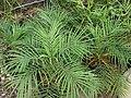 Starr-070906-8610-Phoenix roebelenii-habit-Kula Ace Hardware and Nursery-Maui (24773780772).jpg