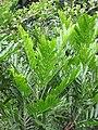 Starr-090623-1621-Filicium decipiens-leaves-Kaeleku-Maui (24849009052).jpg