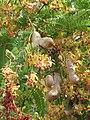 Starr-090720-2973-Tamarindus indica-leaves flowers and seedpods-Waiehu-Maui (24339405314).jpg