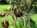 Starr-091104-0811-Lagerstroemia sp-cv Natchez fruit-Kahanu Gardens NTBG Kaeleku Hana-Maui (24692134870).jpg
