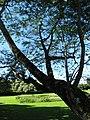 Starr-091104-0843-Anadenanthera colubrina-trunk and canopy-Kahanu Gardens NTBG Kaeleku Hana-Maui (24987698495).jpg