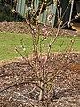 Starr-110222-1659-Prunus persica var persica-Florida Prince flowering habit-Olinda-Maui (25076692395).jpg
