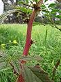 Starr-110502-5236-Amaranthus spinosus-spines-Kula-Maui (24975809902).jpg
