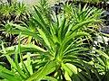 Starr-110524-5832-Argyroxiphium grayanum-in greenhouse-Haleakala National Park-Maui (24469184213).jpg