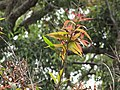 Starr-110629-6446-Syzygium jambos-leaves not much rust now-Ulupalakua-Maui (24802000340).jpg