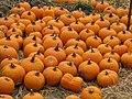 Starr-111004-0582-Cucurbita pepo-pumpkins-Kula Country Farms-Maui (25118390985).jpg
